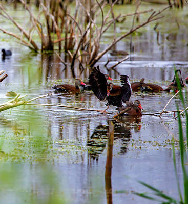 Photograph - Black-Bellied Whistling Ducks by Kevin Banker