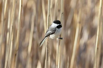 Animals Royalty-Free and Rights-Managed Images - Black-capped Chickadee Spring Reeds by Marlin and Laura Hum