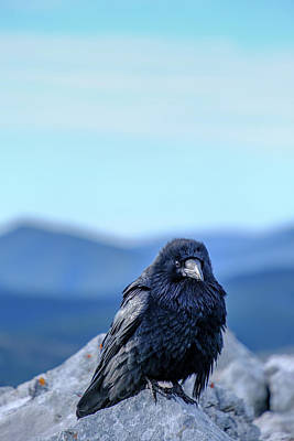 Science Collection - Black Crow Canadian Rockies by Yves Gagnon