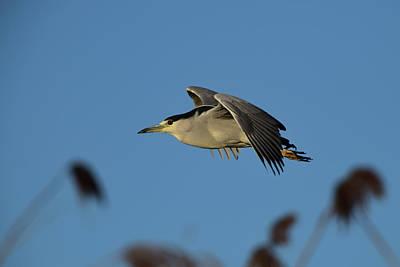 Photograph - Black-crowned night heron in Flight by Bipul Haldar