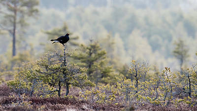 Photograph - Black Grouse on top of a small pine by Torbjorn Swenelius