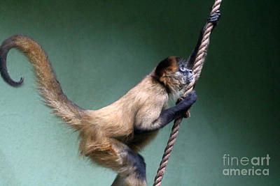 Beverly Brown Fashion - Black-handed Spider Monkey by Diann Fisher