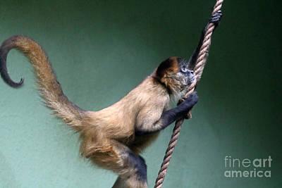 American Milestones - Black-handed Spider Monkey by Diann Fisher
