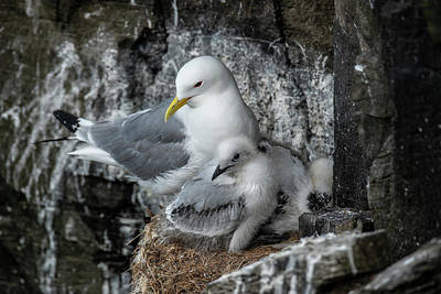 Photograph - Black-legged Kittiwake by Thomas Schreiter