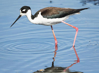 Farm House Style - Black-Necked Stilt in The Midwest by Ricky L Jones