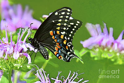 Namaste With Pixels Royalty Free Images - Black Swallowtail Butterfly and Bee Balm Blossoms Royalty-Free Image by Regina Geoghan