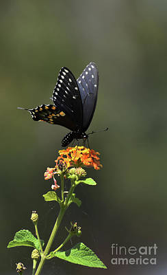 Ps I Love You - Black Swallowtail by Skip Willits