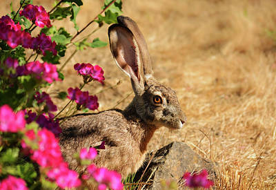 Uncle Sam Posters Rights Managed Images - Black-Tailed Jackrabbit Royalty-Free Image by Brian Tada