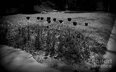 Frank J Casella Royalty-Free and Rights-Managed Images - Black Tulips In Black And White by Frank J Casella
