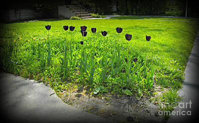 Frank J Casella Royalty-Free and Rights-Managed Images - Black Tulips In Color by Frank J Casella