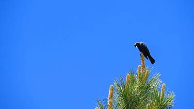 Photograph - Blackbird 01 by Jean Evans