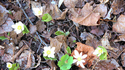 Photograph - Bloodroot Group by Valerie Kirkwood