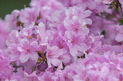 Royalty-Free and Rights-Managed Images - Bloom of Rhododendron Obtusum Diemel by Jenny Rainbow