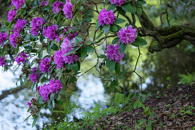 Grace Kelly - Blooming Rhododendron over Water Stream by Jenny Rainbow