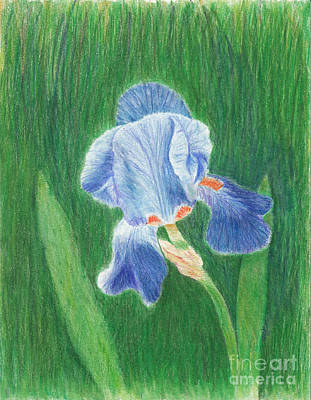 Scifi Portrait Collection - Blue Bearded Iris Drawing by Conni Schaftenaar