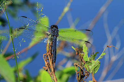 Royalty-Free and Rights-Managed Images - Blue Dasher Dragonfly by Karol Livote