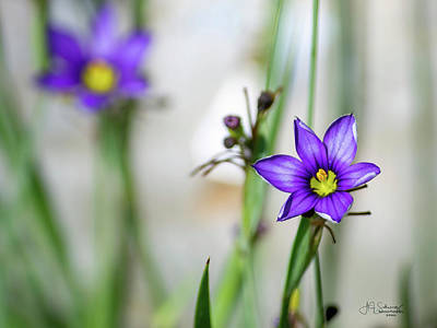Photograph - Blue Eyed Grass by Allyson Schwartz