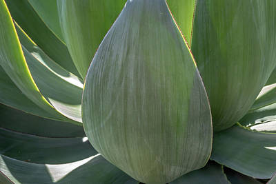 Photograph - Blue Flame Agave 2 by Alison Frank