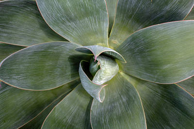 Photograph - Blue Flame Agave by Alison Frank