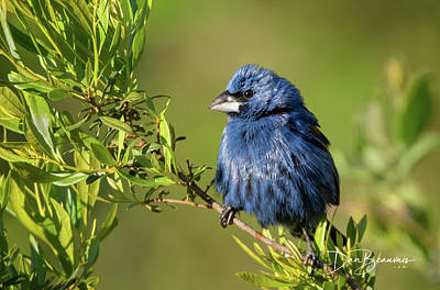 Dan Beauvais Royalty-Free and Rights-Managed Images - Blue Grosbeak 7926 by Dan Beauvais