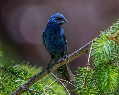 Staff Picks Cortney Herron - Blue Grosbeak by Cathy Kovarik