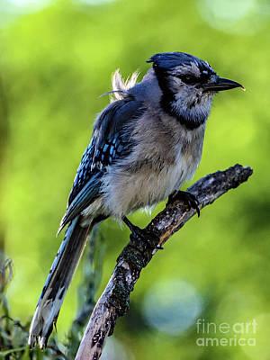 Staff Picks Cortney Herron - Blue Jay With A Disheveled Appearance by Cindy Treger