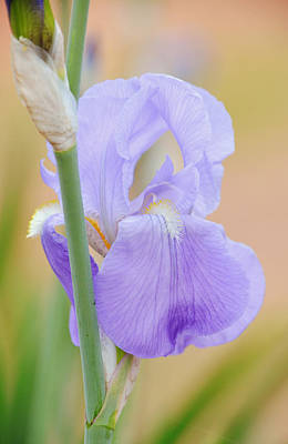 Bringing The Outdoors In - Blue Purple Iris Portrait by Gaby Ethington
