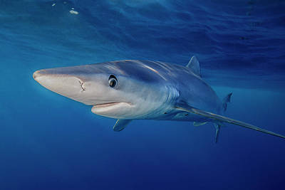 Photograph - Blue Shark by Todd Winner