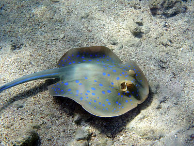 Latidude Image - Blue Spotted Stingray In The Red Sea by Johanna Hurmerinta