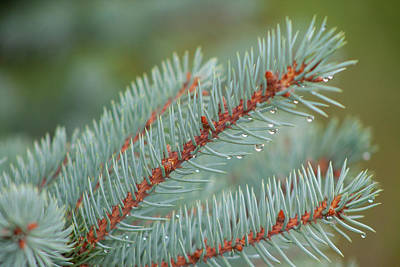 Outerspace Patenets - Blue Spruce With Raindrops by David Beard