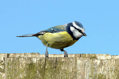 Animal Paintings David Stribbling - Blue Tit on the Fence by Baggieoldboy