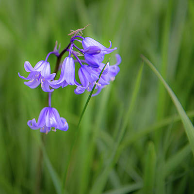 Old Masters - Bluebell Dance by Rob Hemphill