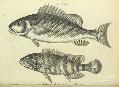Animals Drawings - Bodianus h1 by Historic illustrations