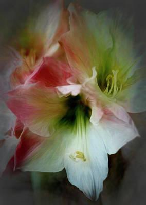 Rose - Bold Amaryllis by Francis Sullivan