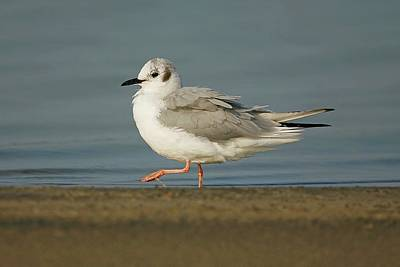 Lori A Cash Royalty-Free and Rights-Managed Images - Bonapartes Gull Walking by Lori A Cash