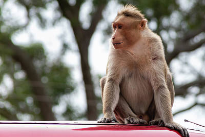 Firefighter Patents - Bonnet macaque by SAURAVphoto Online Store