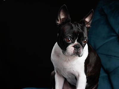Photograph - Boston Terrier by Nailia Schwarz