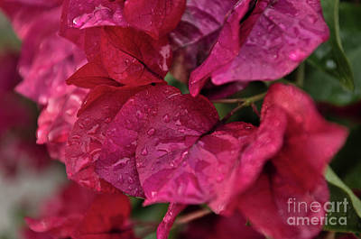 Photograph - Bougainvillea flowers after rain by Angelo DeVal