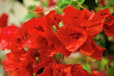 Photograph - Bougainvillea flowers after rain scene by Angelo DeVal