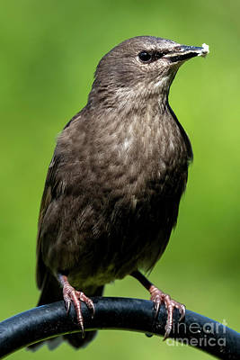 Royalty-Free and Rights-Managed Images - Brewers Blackbird by Mike Dawson