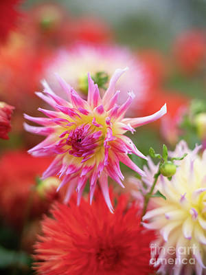 Royalty-Free and Rights-Managed Images - Bright Pink Cactus Dahlia in the Garden by Mike Reid