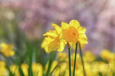 Photograph - Bright Yellow Daffodil by Katho Menden