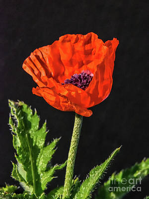 Food And Flowers Still Life Rights Managed Images - Brilliant Oriental Poppy Royalty-Free Image by Cindy Treger