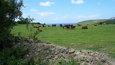 Winter Animals Rights Managed Images - Brown cows relaxing in coastal pasture. Royalty-Free Image by Richard Griffin