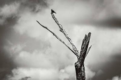 Photograph - Brown Headed Cowbird by Carl Simmerman
