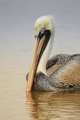 Lori A Cash Royalty-Free and Rights-Managed Images - Brown Pelican at Sunrise by Lori A Cash