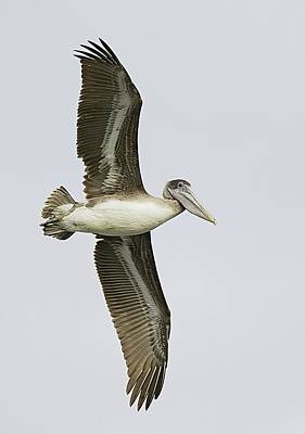Lori A Cash Royalty-Free and Rights-Managed Images - Brown Pelican Flying by Lori A Cash