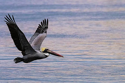 Lori A Cash Royalty-Free and Rights-Managed Images - Brown Pelican Flying Over Water at Sunset by Lori A Cash