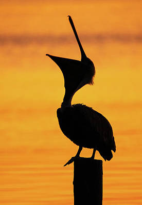 Lori A Cash Royalty-Free and Rights-Managed Images - Brown Pelican Head Throw by Lori A Cash