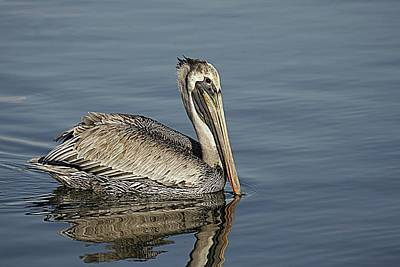 Lori A Cash Royalty-Free and Rights-Managed Images - Brown Pelican In Blue Water by Lori A Cash